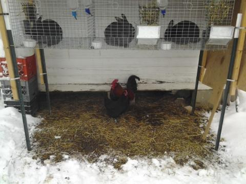 Chickens on the only patch of snow-free ground, under the rabbitry.