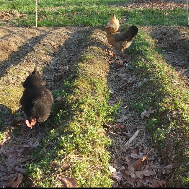 The girls 'helping' weed the spring garden.