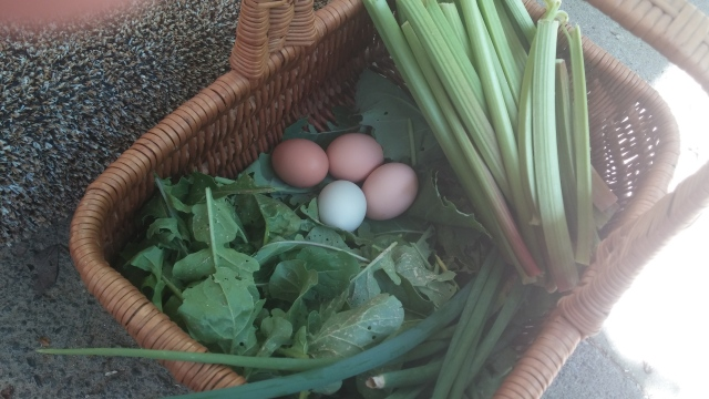 Morning haul: rhubarb, fresh eggs, Egyptian Walking onions, kale, spinach, arugula.