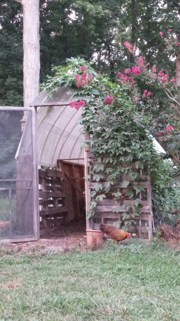 Home is where your chickens are.